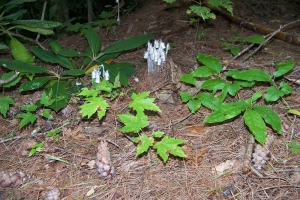 Indian Pipe Fungus