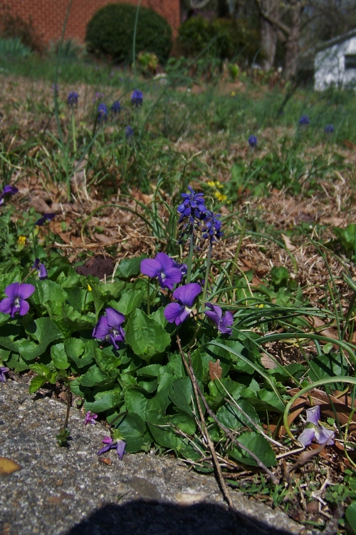 Violets and Grape Hyacinth