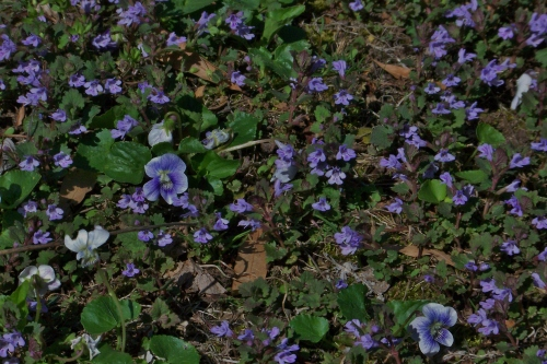 Violets and Ground Ivy
