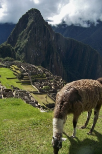 Llamas wander throughout the site