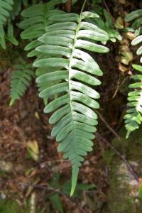 Rockcap Fern (Polypodium virginianum) I believe