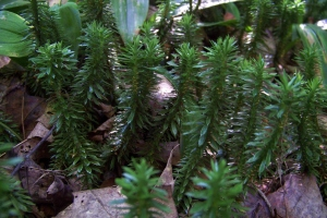 Evergreen groundcover