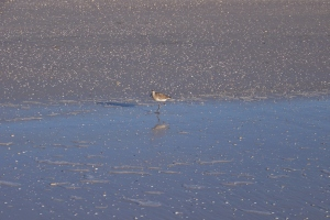 Plover or Least Sandpiper in its Winter Plumage?