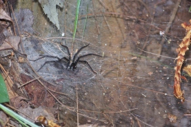 Agelenopsis (Funnel Web Spider or Grass Spider)